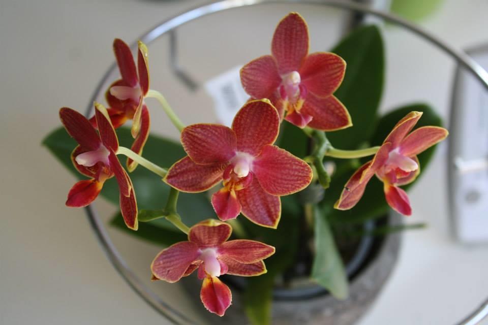 neue orchideen im shop von orchids more. Black Bedroom Furniture Sets. Home Design Ideas