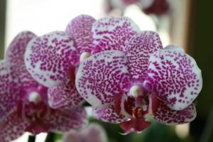 Phalaenopsis Current Affair