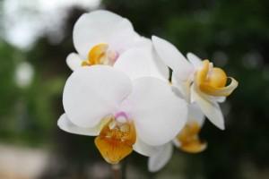 Phalaenopsis Doud Violet