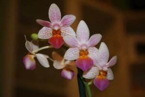 Phalaenopsis Fantasy Musick