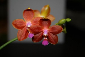 Phalaenopsis I-Hsin Salmon Copper Star