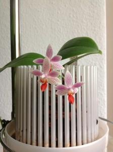 Phalaenopsis Little Sister