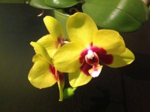 Phalaenopsis Mituo Golden