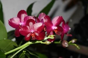Phalaenopsis Sogo Grape
