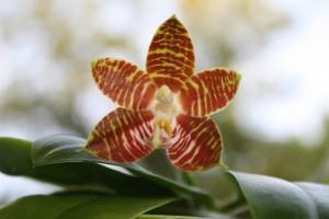 Phalaenopsis amboinensis flavida
