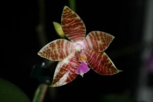 Phalaenopsis amboinensis x lueddemanniana