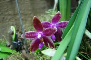 Phalaenopsis corningiana x violacea