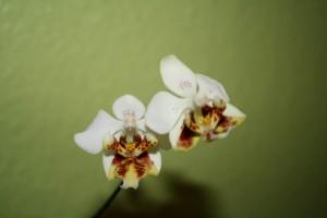 Phalaenopsis stuartiana var punctatissima