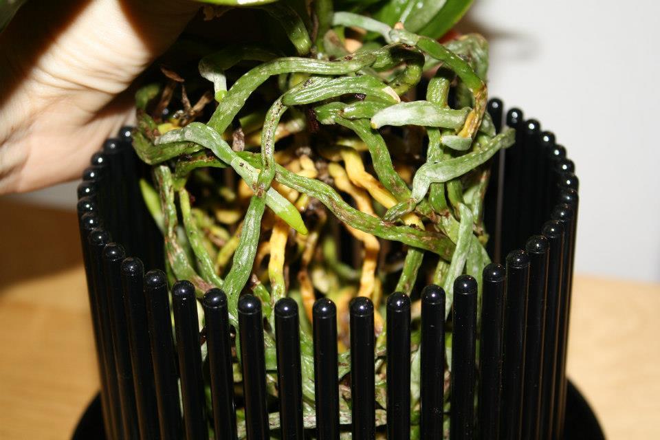 orchitop bei pflanzen k lle diese filialen sind dabei. Black Bedroom Furniture Sets. Home Design Ideas