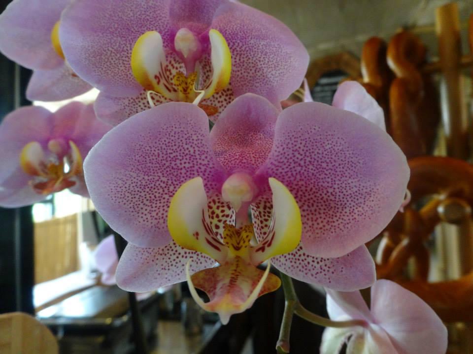 Orchideenblüte in Potsdam