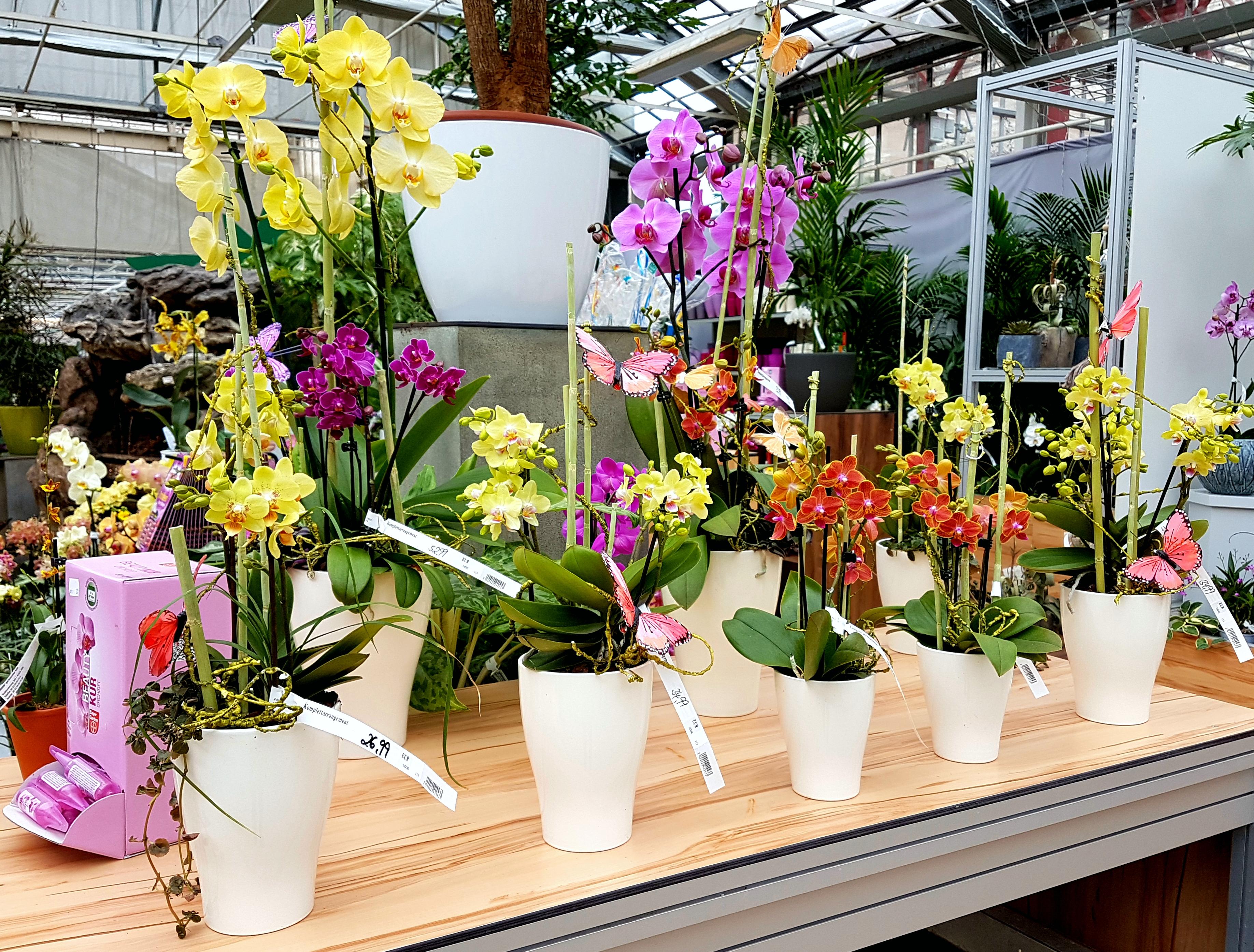 dinger s gartencenter k ln ein paradies f r phalaenopsis fans orchideenfans blog. Black Bedroom Furniture Sets. Home Design Ideas