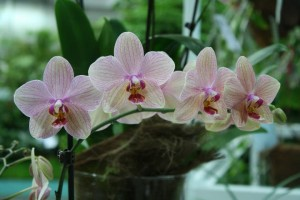 Blütentrieb abschneiden bei Phalaenopsis