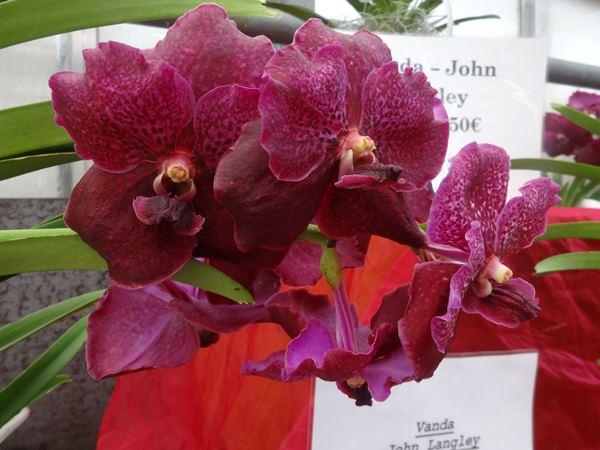 Orchideen im Sommer Vanda