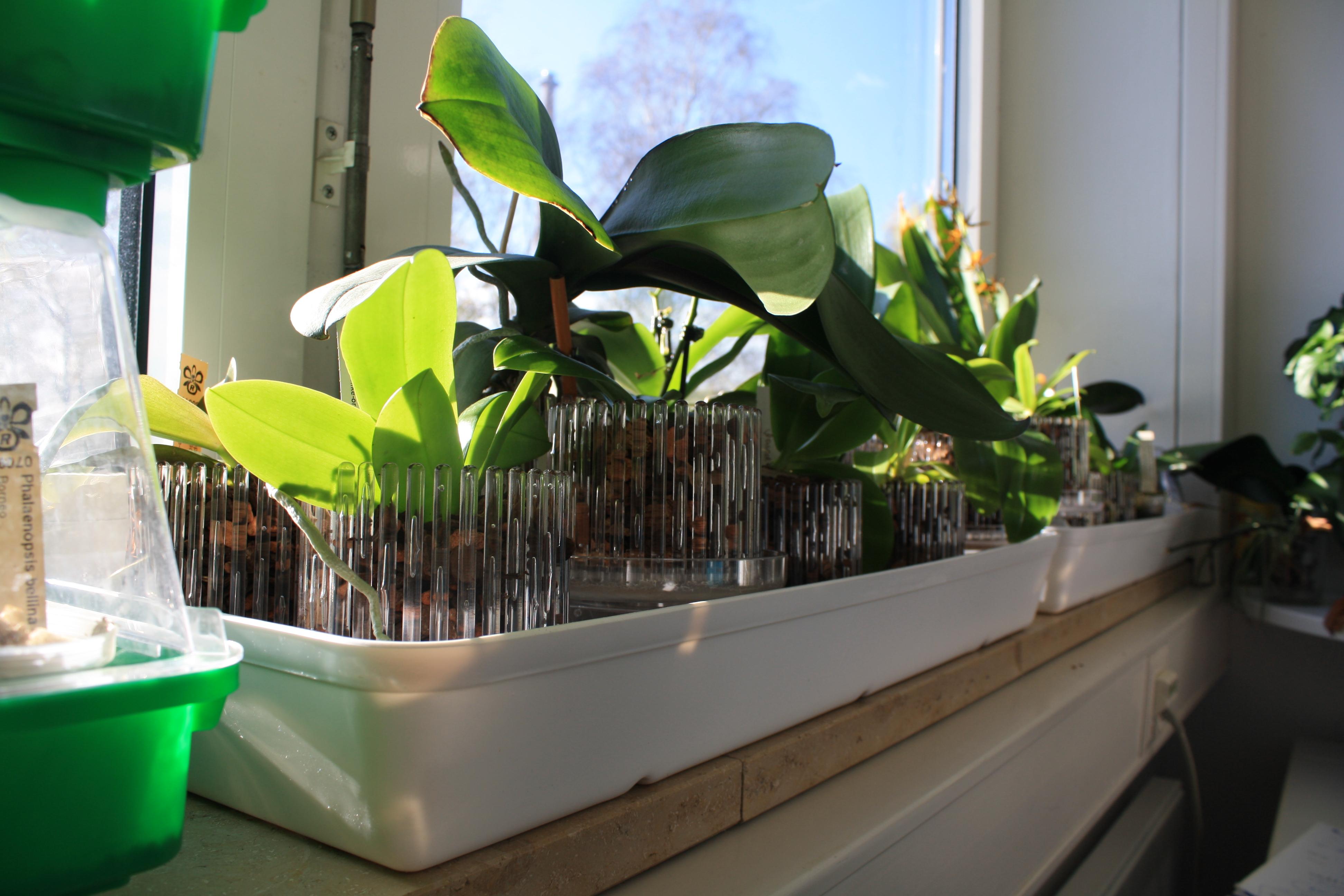Fensterbankschalen können die Luftfeuchte für die Orchideen an Ort und Stelle erhöhen.