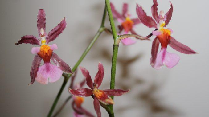 oncidium orchideen pflegen orchideenfans blog