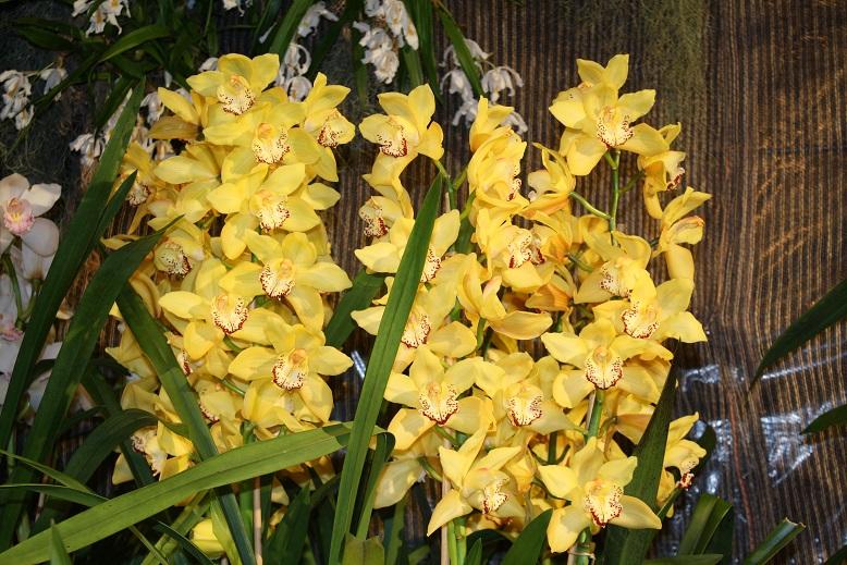 4 rabatt bei orchideen wichmann orchideenfans blog. Black Bedroom Furniture Sets. Home Design Ideas