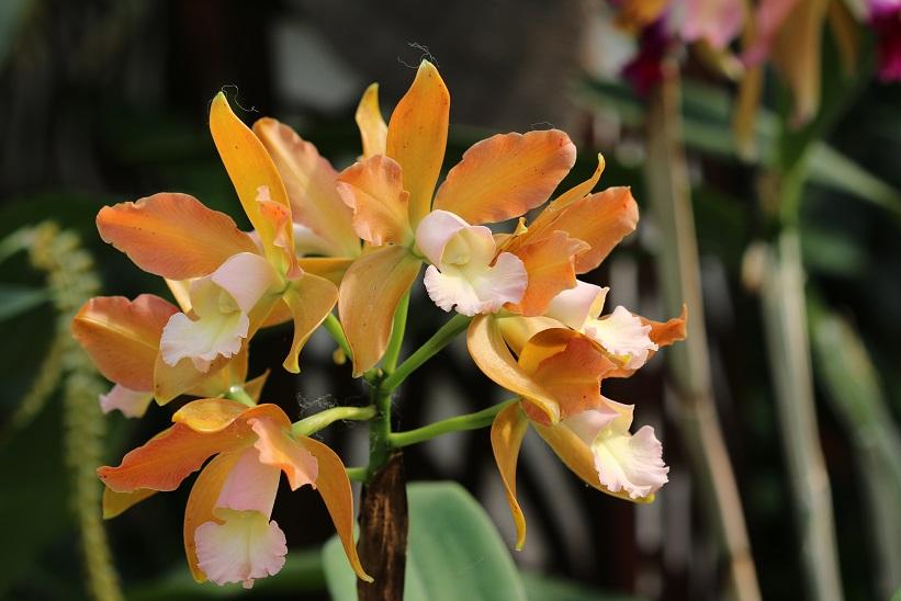 orchideen sammelbestellung brasilien 2017 bei elsner. Black Bedroom Furniture Sets. Home Design Ideas