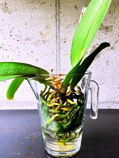 Orchideen Wasser