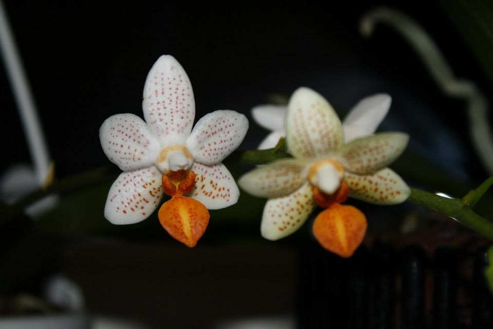 orchideen im advent mit wild wein und honig. Black Bedroom Furniture Sets. Home Design Ideas