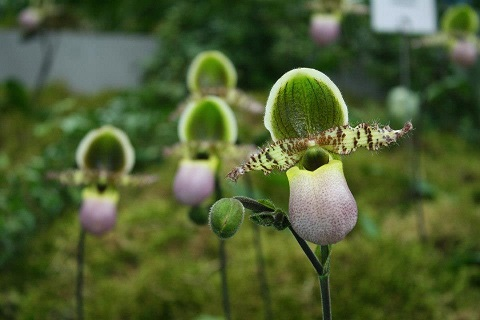 Blütentrieb abschneiden bei Paphiopedilum